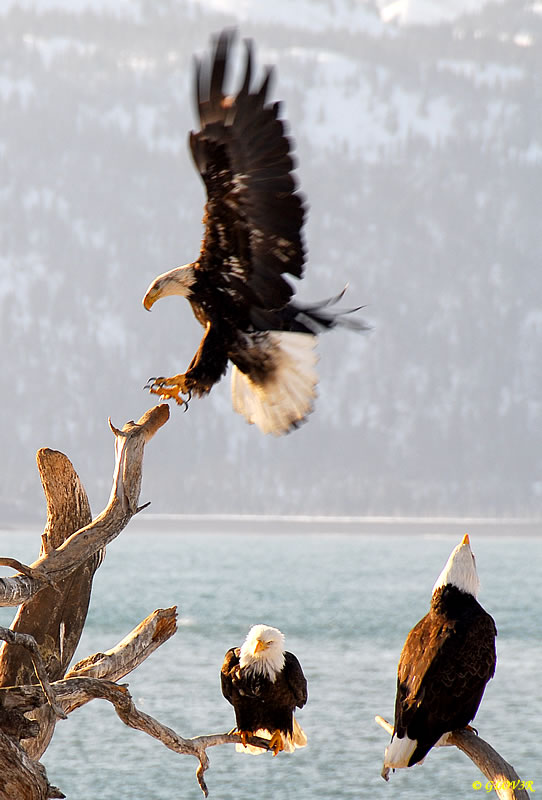 Dancing Eagles in flight