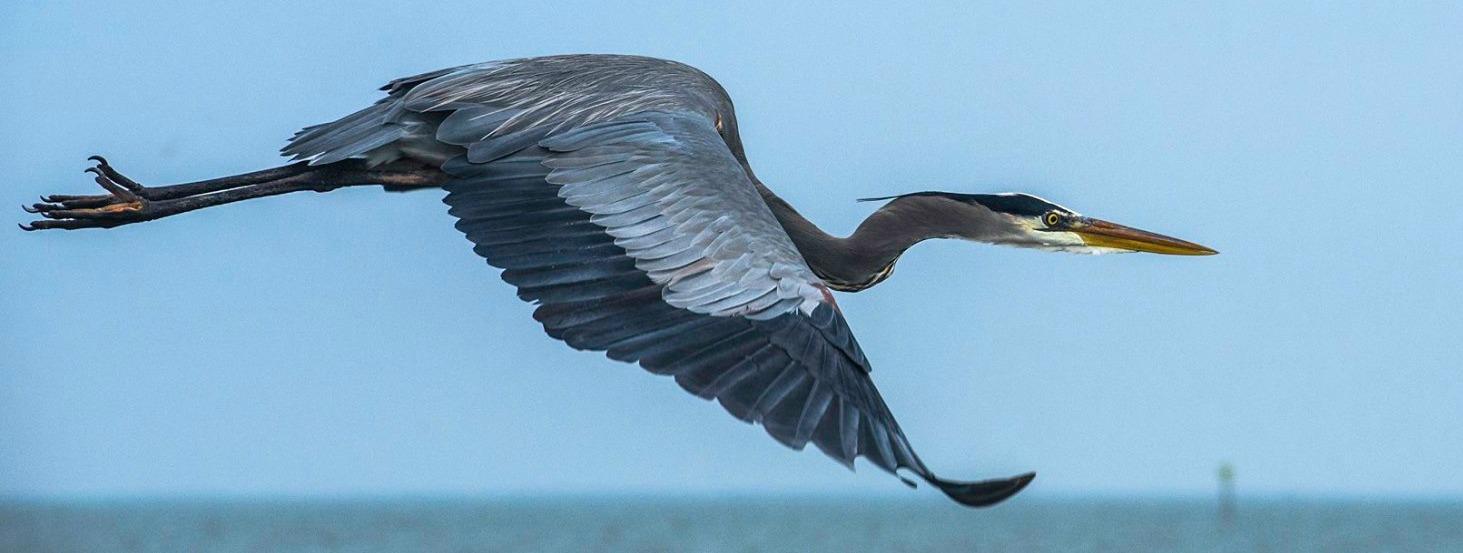 Cropped Blue Heron